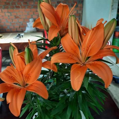 hoa-lily-lun-cam.jpg